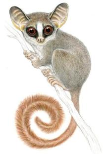 Galagoides rondoensis de Tanzania. Imagen: Conservation International / Stephen Nash.