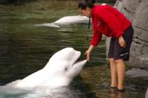 """Beluga en cautiverio en el acuario de Vancouver, Canadá, donde también se ha escuchado """"hablar"""" a una ballena blanca. Fuente: Wikimedia Commons."""