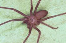 La fobia a las arañas es una de las fobias más comunes. Fuente: Wikimedia Commons.