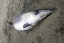 Ballena picuda de Gray, muy parecida a las encontradas ahora, pero que es una especie distinta. Fuente: Gobierno de Nueva Zelanda.
