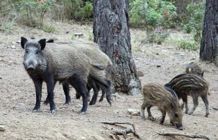 Los investigadores han secuenciado el genoma del cerdo y del jabalí. Imagen: Martin Groenen. Fuente: Universidad de Wageningen.