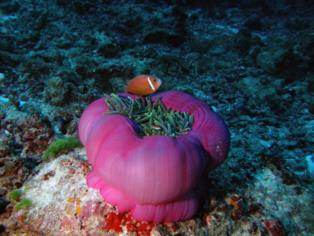Comunidades coralinas de las Islas Maldivas. Crédito: Xavier Turon.  Fuente: CSIC.
