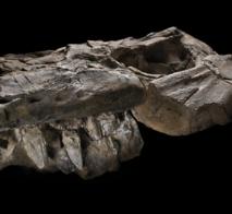 Una mandíbula completa, con dientes de 12 centímetros de longitud, del depredador recién descrito. Imagen: John Weinstein. Fuente: Field Museum, Chicago.