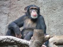 Chimpancé común (Pan troglodytes). Imagen: Thomas Lersch. Fuente: Wikimedia Commons.