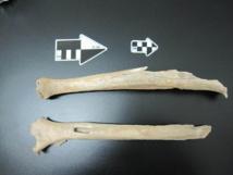 La pierna de un humano moderno temprano de la cueva de Tianyuan fue utilizada para hacer análisis genéticos y datación por carbono. Imagen: Instituto Max Planck de Antropología Evolutiva.