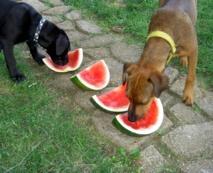 Una de las principales diferencias entre los lobos y los perros es su forma de alimentarse. Imagen: jdurham. Fuente: MorgueFile.