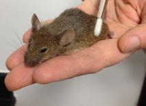 El equipo utilizó un pincel diseñado para simular el tipo de caricias que estos animales pueden sentir Imagen: D. Anderson lab, Caltech. Fuente: SINC.