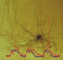 Hipocampo interneuronal y lecturas eléctricas. Max Planck Institute.