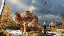 Ilustración del camello gigante de  la isla Ellesmere en el período cálido del Plioceno, hace cerca de tres y medio millones de años. Fuente: Canadian Museum of Nature.