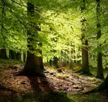 Bosque de hayas. Imagen: Malene Thyssen. Fuente: Wikimedia Commons.