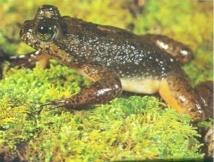 Rheobatrachus silus, extinta en 1981. Imagen: ThinkQuest. Fuente: Wikimedia Commons.