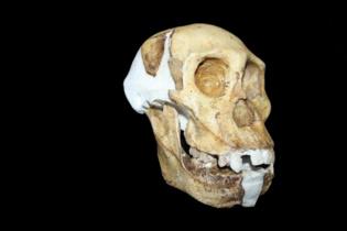 La mandíbula se parece más a las del género homo que a otros australopitecus. Fuente: Lee R. Berger.