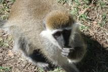 Un ejemplar de Chlorocebus aethiops, una especie de primate con gran probabilidad de transmitir enfermedades emergentes. Imagen: Joe Castleman. Fuente: Wikimedia Commons.