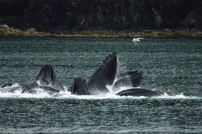 Ballenas jorobadas alimentándose con su técnica de caza en grupo. Imagen: Evadb. Fuente: Wikimedia Commons.