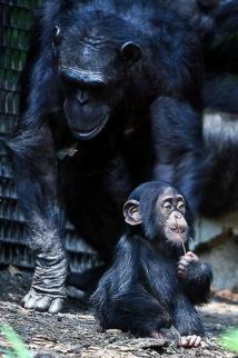 Cría de chimpancé con su madre. Fuente: Flickr.