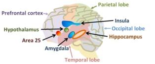 Algunas de las zonas cerebrales significativas en los desórdenes de la personalidad. Imagen: Brews ohare
