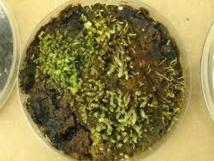 Cultivo de plantas briofitas encontradas bajo el hielo. Imagen: Catherine La Farge. Fuente: Universidad de Alberta (Canadá).