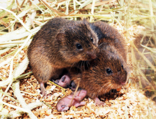 La ratones de campo desarrollan una fuerte preferencia por una pareja después de apareamiento y permanecen juntos para toda la vida. Imagen: Zuoxin Wang. Fuente: Nature.