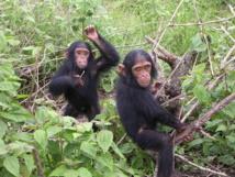 Jóvenes chimpancés jugando. Imagen: Delphine Bruyere. Fuente: Wikimedia Commons.