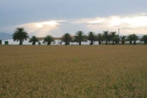 Arrozales en el delta del Ebro. Imagen: Pixel. Fuente: Wikimedia Commons.