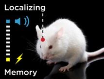 Determinados tipos de aprendizaje se adquieren y almacenan en la corteza motora y no en el hipocampo. Fuente: UPO.