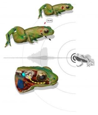 Ilustración sobre cómo la rana Gardiner puede escuchar con la boca. Arriba a la izquierda: La piel del animal refleja un 99,9% de una onda de sonido entrante que golpea el cuerpo cerca del oído interno. Sin un oído medio, las ondas sonoras no pueden ser transportadas hasta el oído interno. Abajo a la izquierda: la boca actúa como caja de resonancia de las frecuencias del canto de otras ranas, amplificando su sonido en la boca. El tejido del cuerpo entre la cavidad bucal y el oído interno está adaptado para transportar estas ondas de sonido hasta el oído interno. Imagen: R. Boistel / CNRS. Fuente: ESRF.
