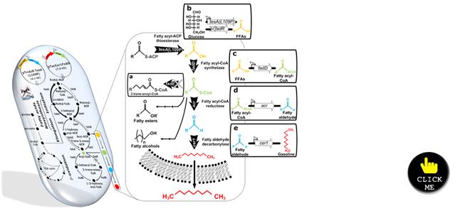 El mecanismo metabólico de la biogasolina. Fuente: KAIST.