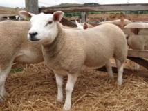 Las ovejas fueron de los primeros animales en ser domesticados por el hombre. Imagen: Kay Aitchison. Fuente: Escuela Real (Dick) de Estudios de Veterinaria, de la Universidad de Edimburgo.