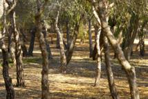 Pinada del Guardamar, ejemplo de cómo se puede frenar la desertificación en España. Imagen: Salu Heredia. Fuente: Wikipedia.