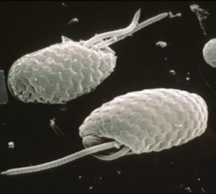 Imagen de las criptofitas obtenida por microscopio electrónico. Fuente: Csiro (agencia nacional de investigación científica de Australia).