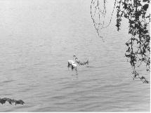 Patos en el Lago Constanza