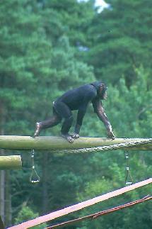 Estudios anatómicos desvelan que el hombre no bajó de los árboles