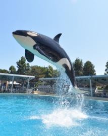 Una de las orcas estudiadas por los científicos. Fuente: SeaWorld Photo.