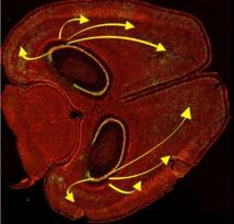 Durante la recuperación de recuerdos, las neuronas del hipocampo se conectan con las células nerviosas de la corteza cerebral. Imagen: Kazumasa Tanaka y Brian Wiltgen. Fuente: UC Davis.