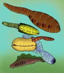 Diversos ejemplares de la familia de los Vetulicolia. Fuente: Wikipedia.