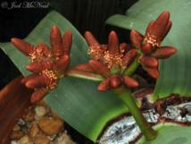 'Welwitschia mirabilis'. Imagen: Joel McNeal. Fuente: CSIC.