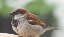Gorrión común macho. Imagen: Adam Kumiszcza. Fuente: Wikipedia.