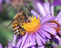 Apis mellifera extrayendo néctar. Fuente: Wikimedia Commons.