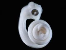 En el lugar donde estarían las piernas, si las serpientes las tuvieran, surgen unos minúsculos brotes que se convertirán en los hemipenes de este embrión. Imagen: Patrick Tschopp, Harvard Medical School. Fuente: Sinc.