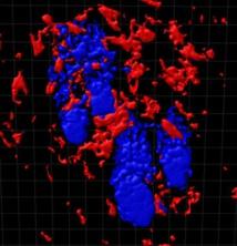 Imagen tridimensional de la piel que muestra a los folículos pilosos (azules) rodeados por cúmulos de macrófagos residentes de tejido (rojo). La comunicación molecular entre los macrófagos y las células madre del folículo piloso regula la iniciación del crecimiento de los folículos. Imagen: Donatello Castellana. Fuente: CNIO/SINC.