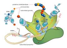 Diagrama mostrando la traducción del ARNm y la síntesis de proteínas hecha por los ribosomas. Imagen: LadyofHats. Traducción: Parri. Fuente: Wikipedia.
