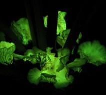 Hongos 'Neonthopanus gardneri' creciendo en la base de una palmera babasu, en Gilbúes (Brasil). Imagen: Michele P. Verderane. Fuente: Universidad de São Paulo.