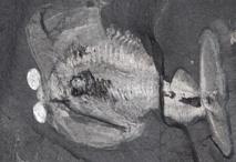 'Odaraia alata', un artrópodo de Burgess Shale que se asemeja a un submarino. Imagen: Jean Bernard Caron. Fuente: Royal Ontario Museum.