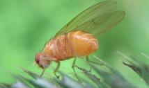 Drosophila menalogaster o mosca de la fruta. Fuente: Wikimedia.