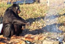 El bonobo (chimpancé pigmeo) Kanzi cocina un malvavisco en una reserva. Imagen: Laurentiu Garofeanu. Fuente: Barcroft USA