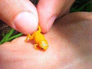 Una de las especies de rana en miniatura halladas en Brasil. Imagen: Luiz Fernando Ribeiro. Fuente: CC BY SA/Eurekalert!