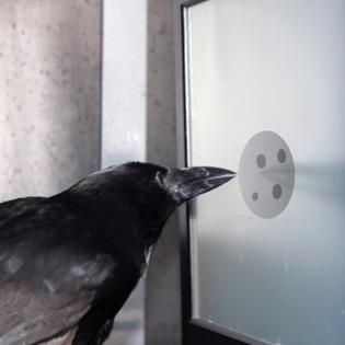 Un cuervo contando puntos. Imagen: Andreas Nieder. Fuente: AlphaGalileo.