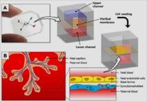 El dispositivo placenta-en-un-chip. La cámara azul y la roja están separadas por una membrana semipermeable. Los investigadores colocaron células maternales en una y fetales en la otra. Luego añadieron glucosa en la materna y observaron cómo se filtró a la fetal. Fuente: NIH.