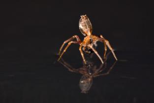 Araña en el agua. Imagen: Alexander Hyde. Fuente: DICyT.