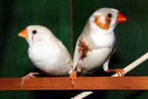 Una pareja de pinzones cebra. Imagen: musthaqsms. Fuente: Pixabay.